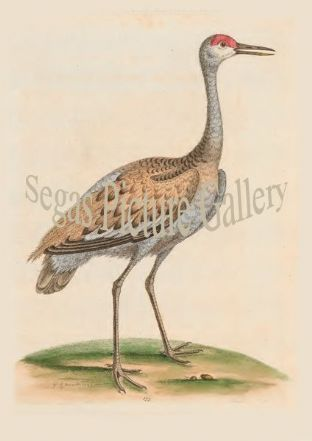 Crane, Brown And Ash-Coloured